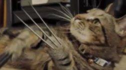 Η γάτα... Wolverine, μας δείχνει τις «δυνάμεις» της!