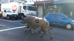 Βουβάλια στους δρόμους του Σίδνεϊ