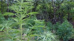 Χασισόδεντρα 2,5 μέτρων στην Ηλεία