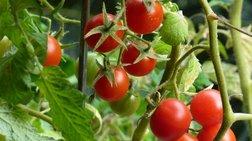 Οι ντομάτες προστατεύουν από τον καρκίνο του μαστού