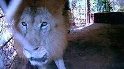 Εκλεψαν λιοντάρι από καταφύγιο στη Βραζιλία