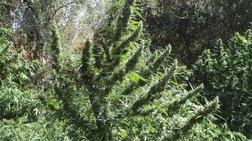 Ενα ολόκληρο... δάσος χασισοφυτεία στο Ρέθυμνο