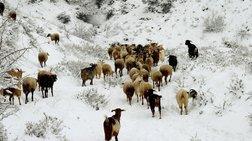Πάπιγκο: Κοπάδια εγκλωβίστηκαν στο χιόνι