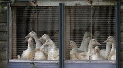 Αίγυπτος: Δεύτερο θύμα από τη γρίπη των πτηνών