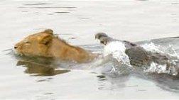apisteuto--krokodeilos-epitithetai-se-liontari
