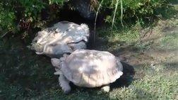 Χελώνα βοηθάει τη «φίλη» της να... αναποδογυρίσει!