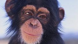 Οι χιμπατζήδες μαθαίνουν... ξένες γλώσσες!