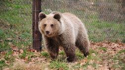 Η Ζωή το αρκουδάκι επιστρέφει στη φύση!