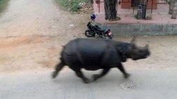 Απίστευτο! Ρινόκερος κυνηγάει... μοτοσυκλετιστή