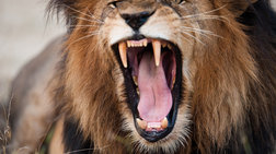 Λιοντάρι πήδηξε μέσα σε τζίπ και σκότωσε 22χρονη σε σαφάρι