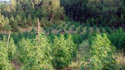 Κατέστρεψαν εκτάσεις με χιλιάδες δέντρα χασίς στα σύνορα Ελλάδας-Αλβανίας