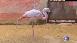 Ανεκτίμητο: Φλαμίνγκο κάνει τα πρώτα του βήματα με προσθετικό πόδι