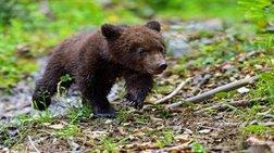 Εκκληση του Αρκτούρου για βοήθεια στον μικρό τραυματισμένο αρκούδο Ούσκο