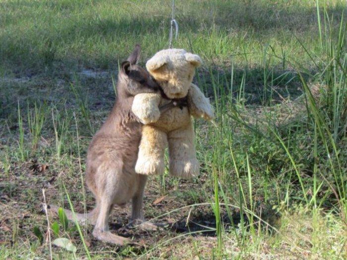 Ορφανό καγκουρό δεν αποχωρίζεται στιγμή το...λούτρινο αρκουδάκι του!