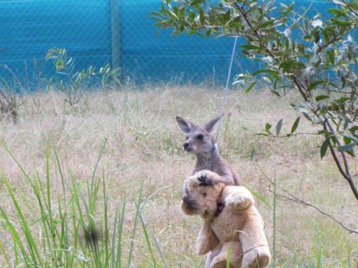 Ορφανό καγκουρό δεν αποχωρίζεται στιγμή το...λούτρινο αρκουδάκι του! - εικόνα 2