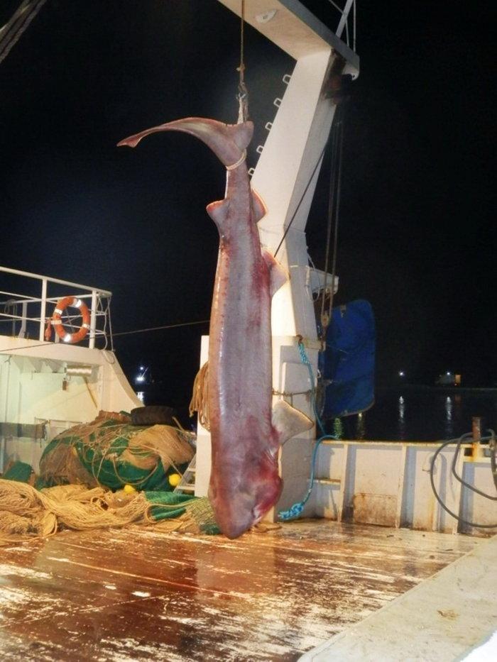 Επιασε καρχαρία 5 μέτρων στην Κάρυστο! - εικόνα 2