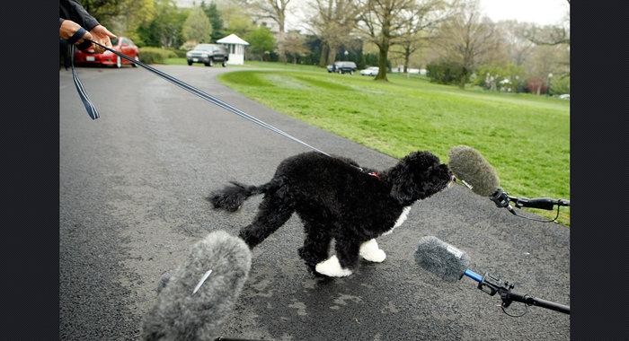 Ο σκύλος των Ομπάμα που κάνει «άνω κάτω» το Λευκό Οίκο - εικόνα 11