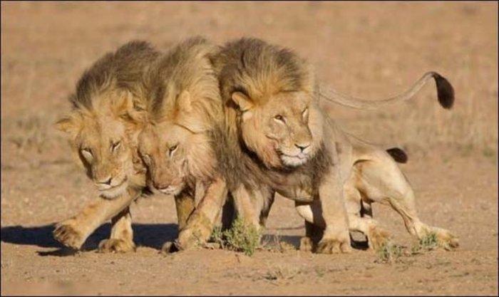 Απειλείται με εξαφάνιση ο βασιλιάς των ζώων, το λιοντάρι - εικόνα 2