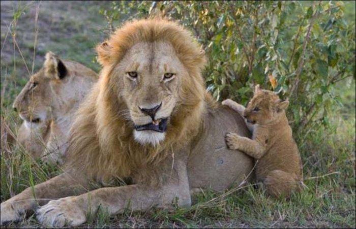 Απειλείται με εξαφάνιση ο βασιλιάς των ζώων, το λιοντάρι - εικόνα 3