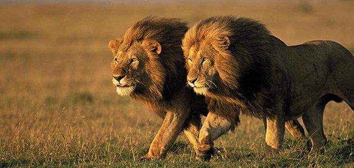 Απειλείται με εξαφάνιση ο βασιλιάς των ζώων, το λιοντάρι - εικόνα 5