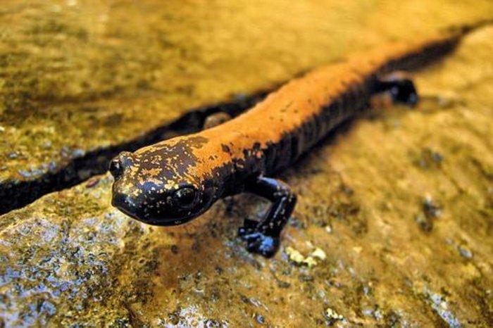 1978: Pseudoeurycea aquatica - Είδος σαλαμάνδρας