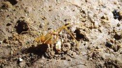 Επιστήμονες ονόμασαν νέο είδος αράχνης Σμίγκολ από το Lord of the Rings