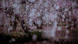 Μαγικές φωτογραφίες ανθισμένων δέντρων στην Ιαπωνία