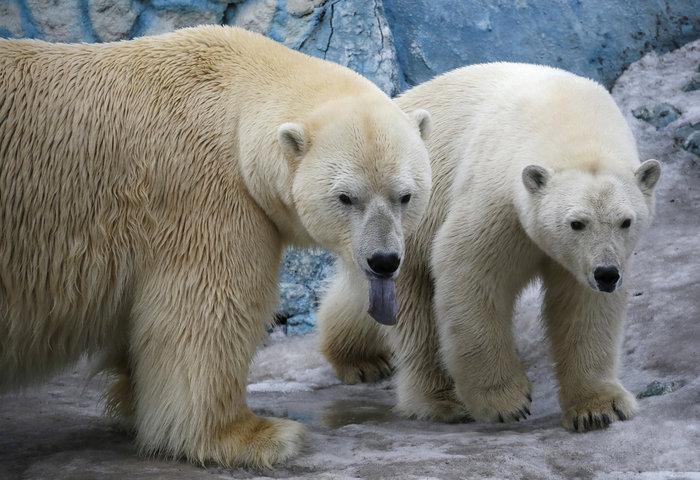 Οι φύλακες του ζωολογικού κήπου επέτρεψαν στις αρκούδες να ζήσουν μαζί, ελπίζοντας ότι θα ζευγαρώσουν - Reuters