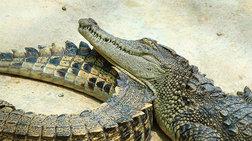 Βρήκαν κατεψυγμένα φιλέτα κροκόδειλου και πύθωνα σε κατάστημα στου Ρέντη