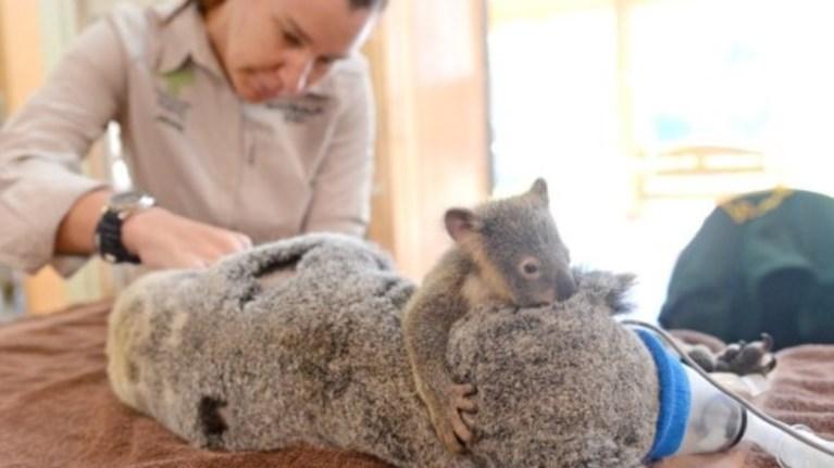spaei-kardies-i-agkalia-mikrou-koala-stin-traumatismeni-mama-tou---fwto--
