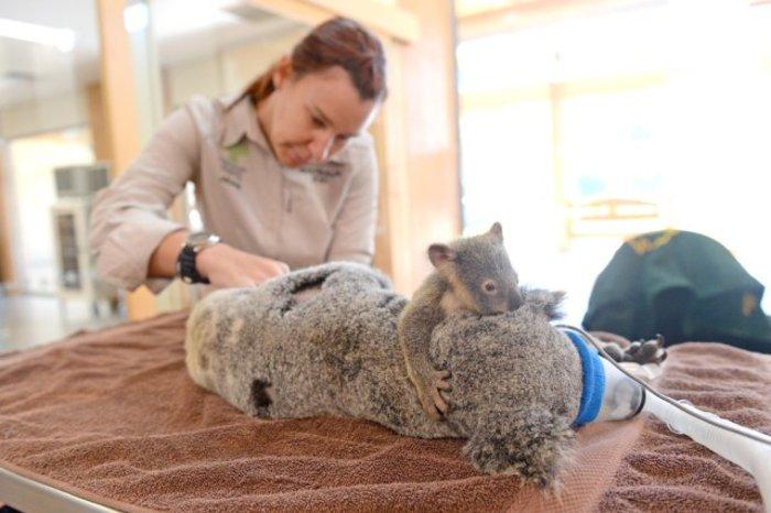 Σπάει καρδιές η αγκαλιά μικρού κοάλα στην τραυματισμένη μαμά του - φωτό -