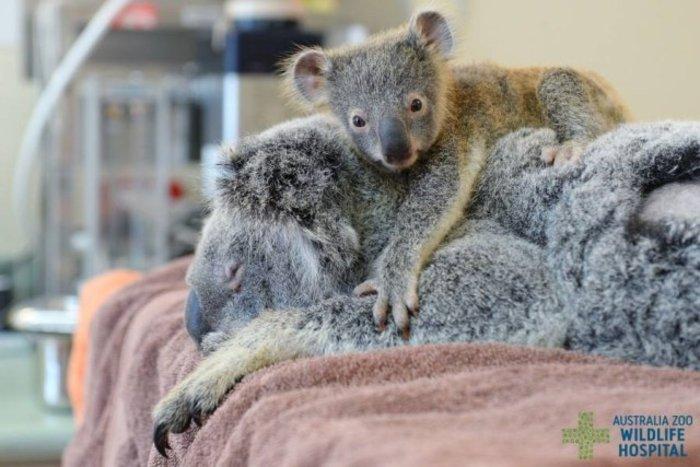 Σπάει καρδιές η αγκαλιά μικρού κοάλα στην τραυματισμένη μαμά του - φωτό - - εικόνα 3
