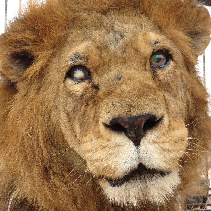Η μεγάλη επιχείρηση επιστροφής 33 αιχμάλωτων λιονταριών στην Αφρική