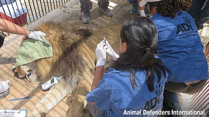Η μεγάλη επιχείρηση επιστροφής 33 αιχμάλωτων λιονταριών στην Αφρική - εικόνα 2