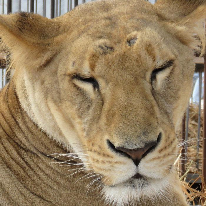 Η μεγάλη επιχείρηση επιστροφής 33 αιχμάλωτων λιονταριών στην Αφρική - εικόνα 3