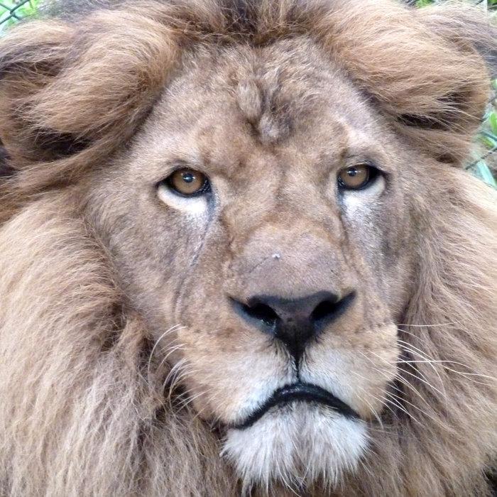 Η μεγάλη επιχείρηση επιστροφής 33 αιχμάλωτων λιονταριών στην Αφρική - εικόνα 4