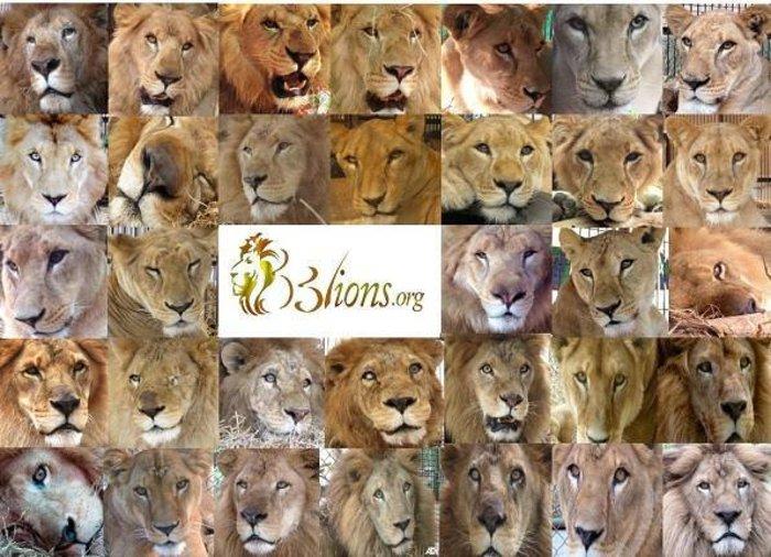 Η μεγάλη επιχείρηση επιστροφής 33 αιχμάλωτων λιονταριών στην Αφρική - εικόνα 5