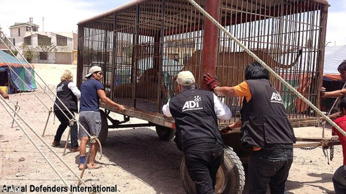 Η μεγάλη επιχείρηση επιστροφής 33 αιχμάλωτων λιονταριών στην Αφρική - εικόνα 6