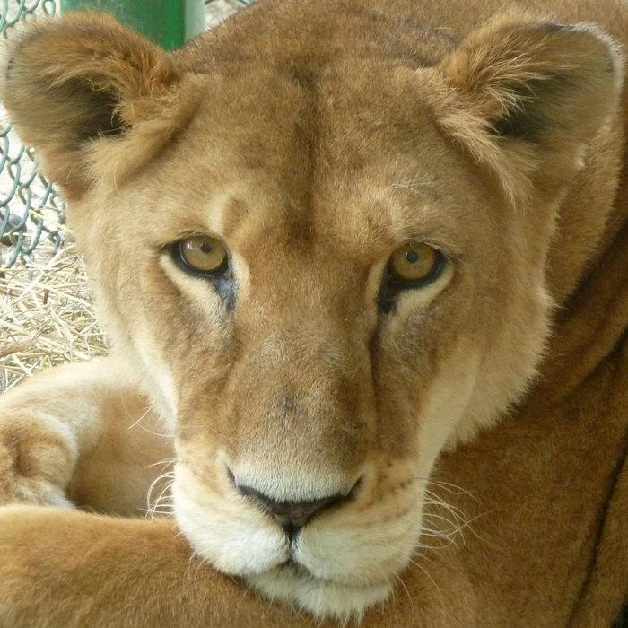 Η μεγάλη επιχείρηση επιστροφής 33 αιχμάλωτων λιονταριών στην Αφρική - εικόνα 7