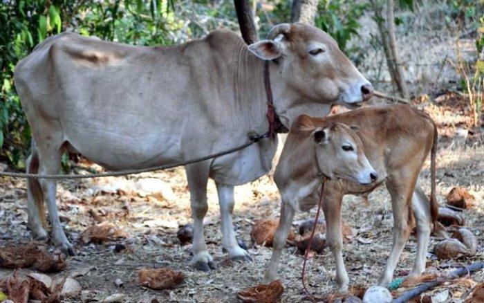 Αγελάδες - μινιατούρες στη μάχη για την υπερθέρμανση του πλανήτη - εικόνα 2