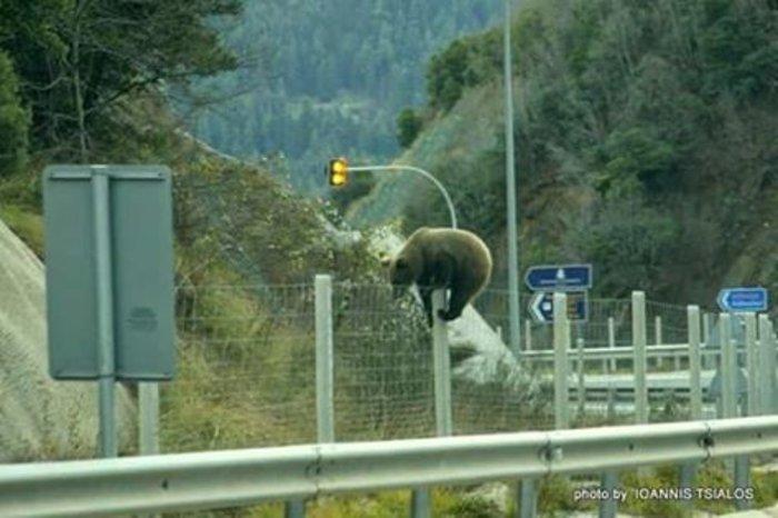 Απίστευτη φωτό με αρκούδα σε ελληνικό αυτοκινητόδρομο