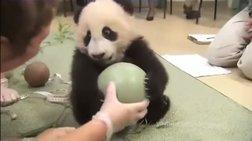 Το μικρό Panda που δεν αποχωρίζεται την μπάλα του