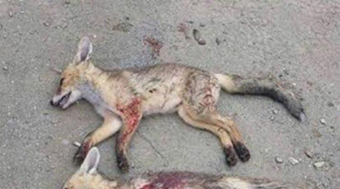 Φρίκη: Σκότωσε αλεπούδες και ανέβασε φωτό στο FB!