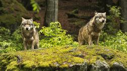 Πώς οι λύκοι εξημερώθηκαν σε σκύλους μέσα σε δύο διαφορετικές εποχές