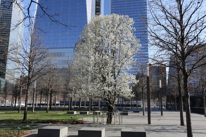 Το δέντρο που σώθηκε από την 11η Σεπτεμβρίου σύμβολο ειρήνης