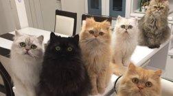 Τι συμβαίνει όταν 12 γάτες Περσίας βρίσκονται στο ίδιο σπίτι