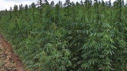 Καλλιεργούσαν δάσος με δενδρύλια κάνναβης ύψους 3 μέτρων