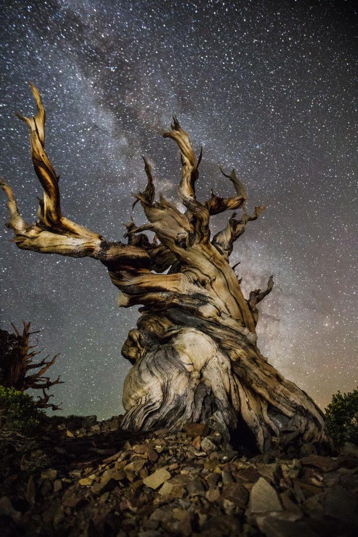 Μαγευτικές εικόνες των πιο ηλικιωμένων δέντρων του κόσμου - εικόνα 3