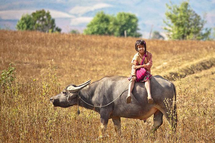 Μαθήτρια ιππεύει έναν ταύρο για να πάει στο σχολείο. Μιανμάρ