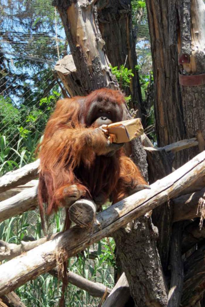Ζώα σε ζωολογικό κήπο ανοίγουν τα χριστουγεννιάτικα δώρα τους